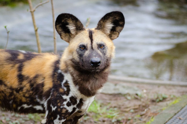 New study suggests African wild dogs may be doomed by climate change. Photo by Mathias Appel