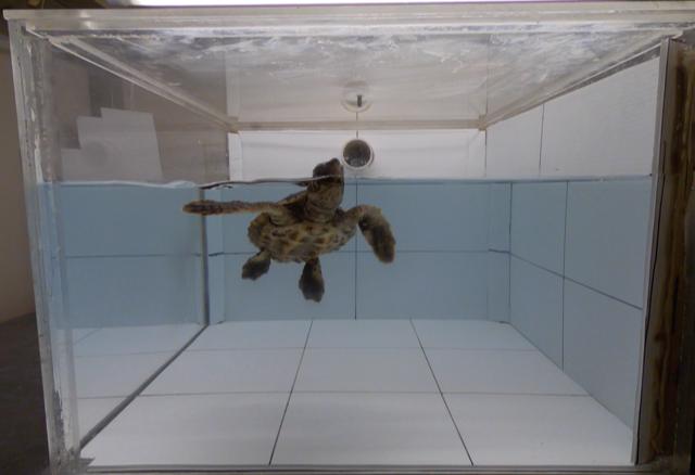 Turtle sniffing plastic Joseph Pfaller