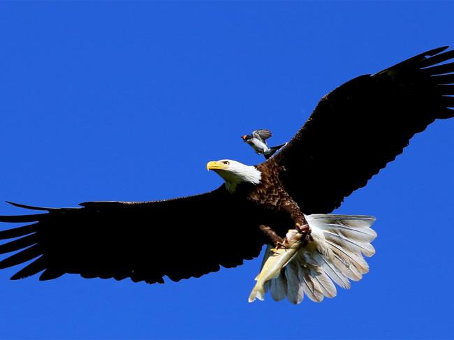 King bird attacking bald eagle