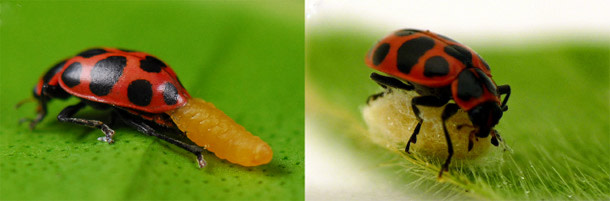 Ladybird_wasp.jpg