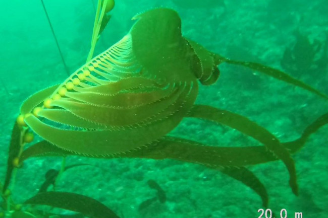 Giant kelp - Ocean Sanctuaries