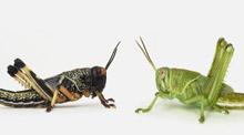 locusts.jpg