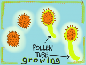 Pollen-Tube-Growing1-300x225.png