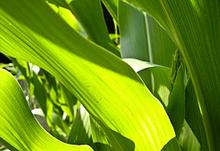 corn-leaves.jpg