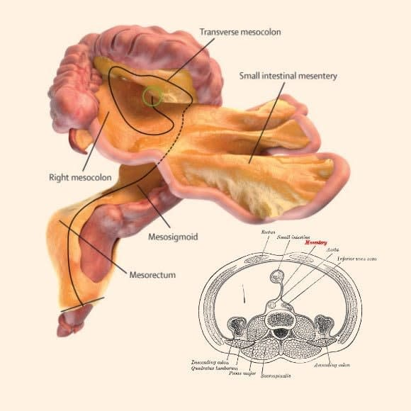 turns-out-the-mesentery-is-one-continuous-organ.jpeg