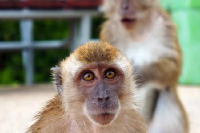 rhesus-macaques-300x294.jpg