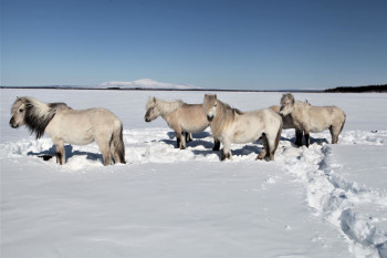Herds of Hoofed Herbivores Might Help Keep Permafrost From Melting