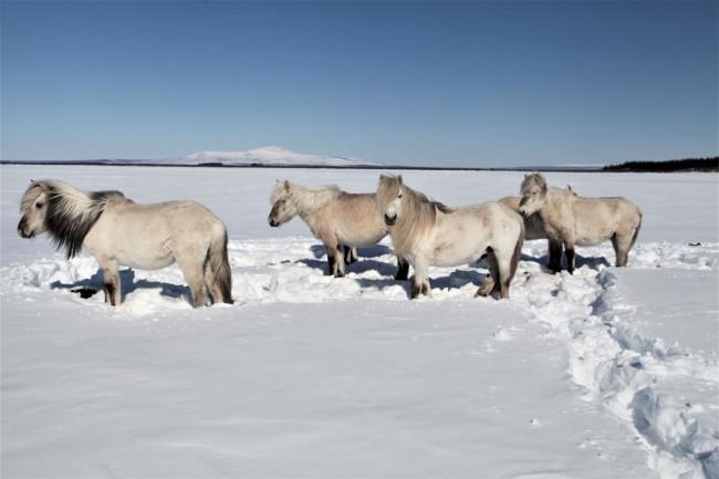 Horses in Snow Permafrost - Pleistocene Park