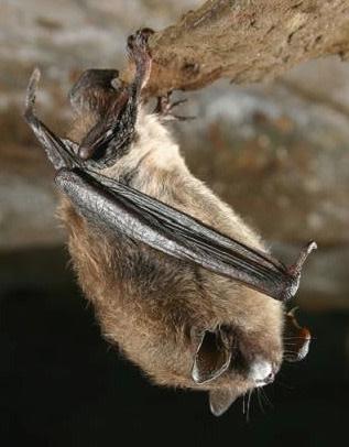 little-brown-bat-white-nose.jpg