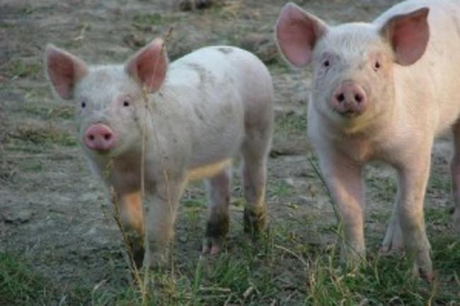 piglets-300x225
