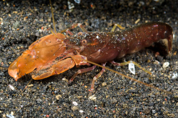 DARPA's Newest Drone Submarine Detection Device: Snapping Shrimp