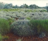 Triodia_hummock_grassland.jpg