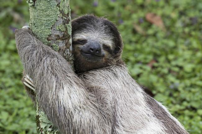 sloth hugs a tree