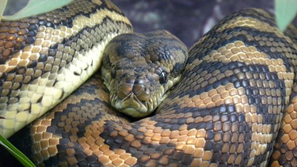 Carpet_python_coils.jpg