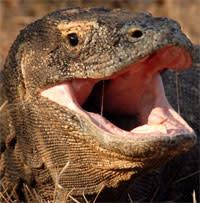 Komodo_dragons_are_venomous.jpg