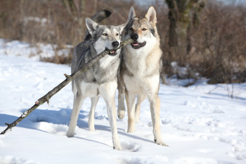 Can Wolves Play Fetch? Yes, But Researchers Don't Know Why