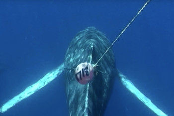 Tracking Whales by Satellite to Help Them Avoid Potentially Deadly Entanglements