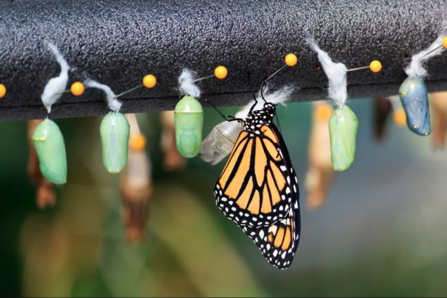 Raising Monarch Butterflies Cocoon Chrysalis - Shutterstock