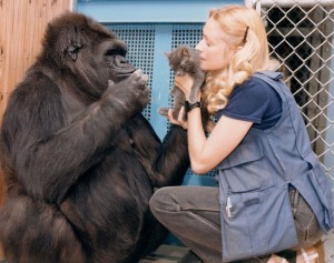 Koko the gorilla, who died last summer, learned about 200 words of American Sign Language