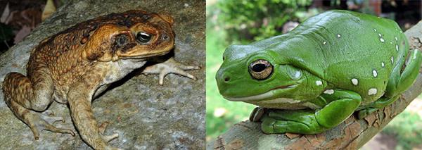 Cane_toad_australian_tree_f.jpg