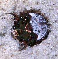 Tiger_beetle_larva.jpg