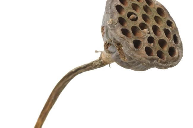 Lotus-seed-pod.jpg