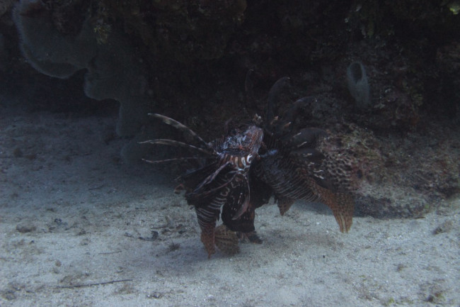 lionfish_fighting_alex_fogg-1024x768.jpg