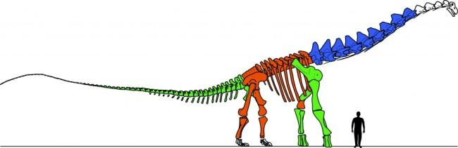 Figure-2.-Drawing-of-the-skeleton-of-Alamosaurus-sanjuanensis-1-1024x333.jpg