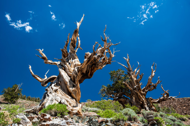 Bristlecone pines are among the longest-living trees. (Credit: Thomas Ramsauer/Shutterstock)