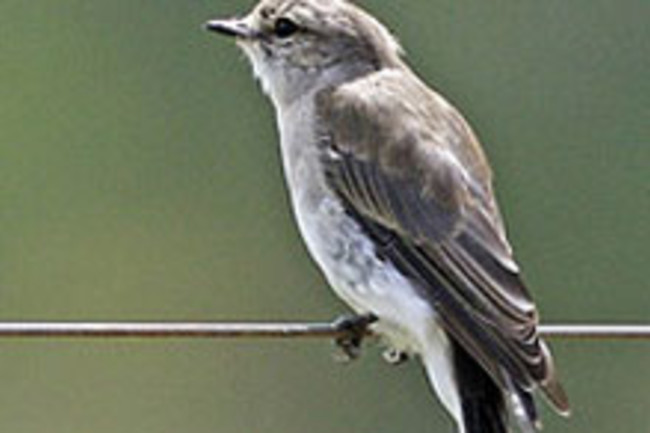 jacky-winter-birdweb.jpg