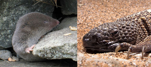 Shrew_mexican_beaded_lizard.jpg
