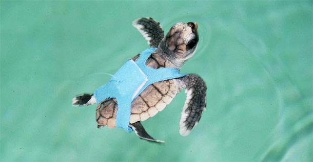 Loggerhead_turtle.jpg