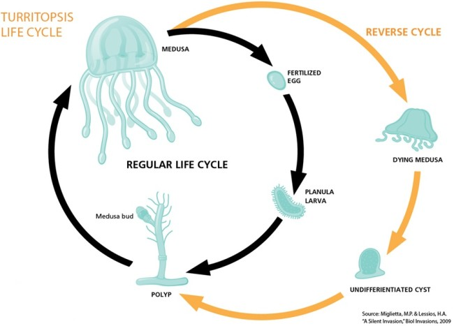 jellyfish cycle