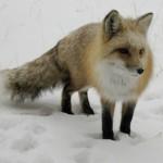fox-150x150.jpg