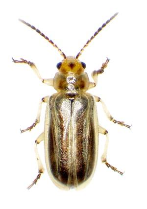 Tamarisk beetle - USGS