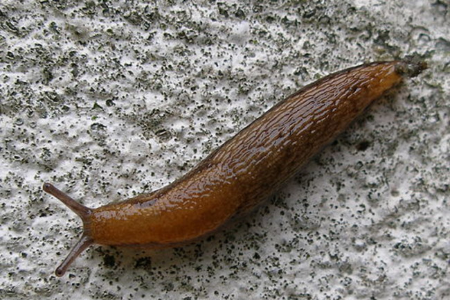 512px-Brown_snail.jpg