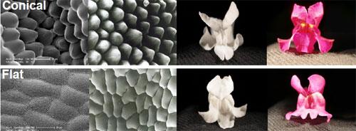 Conicalpetalcells.jpg