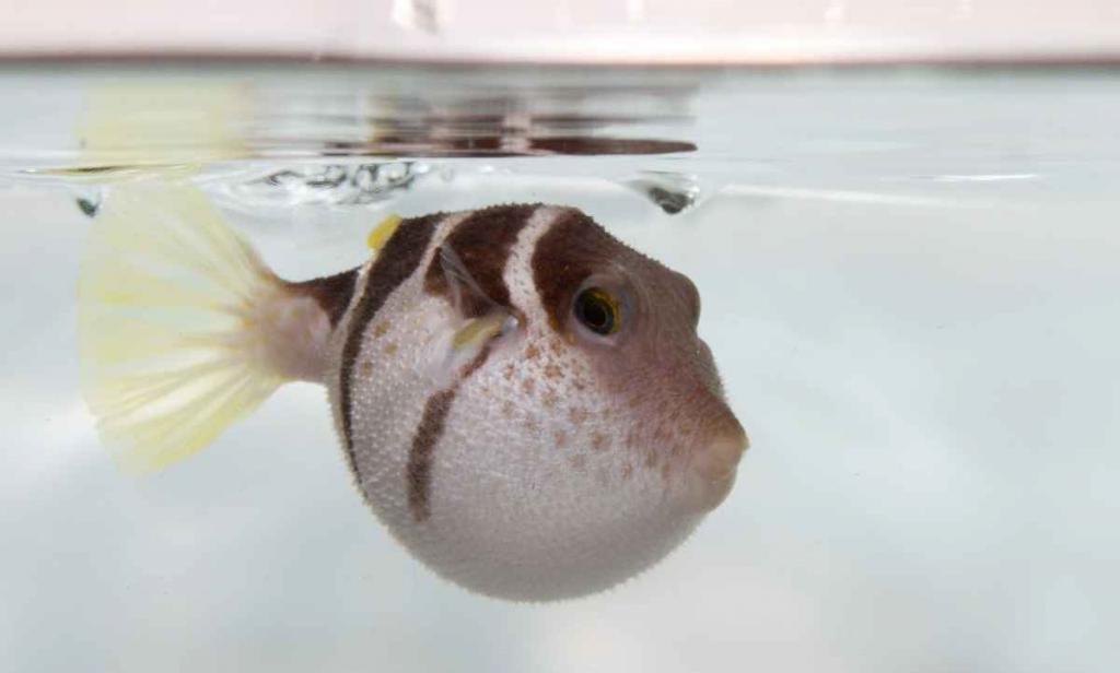 black-saddled-pufferfish-inflated_1_zpsdb38bb71.jpg