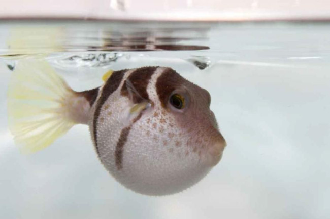 black-saddled-pufferfish-inflated_1_zpsdb38bb71.jpg