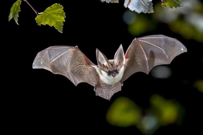 Bat Microbiome