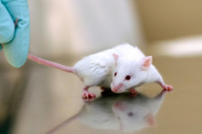 lab-mouse-2.jpg
