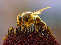 Beepollen.jpg