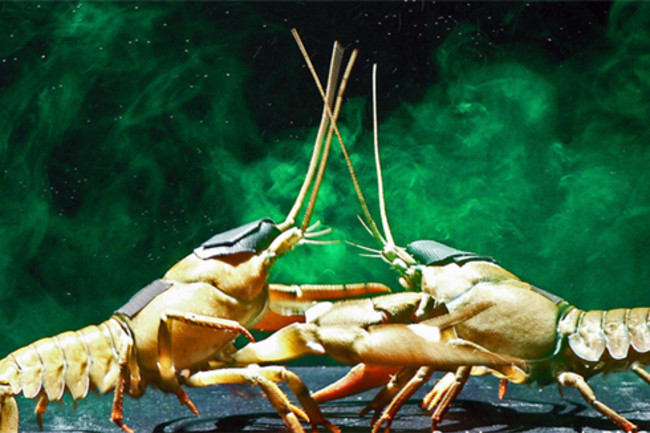 Fighting_crayfish.jpg