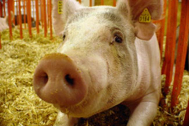 pig-flu.jpg