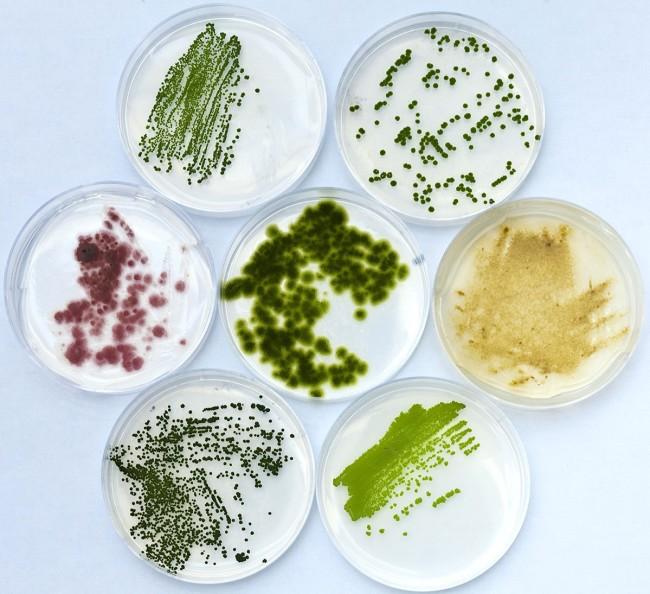 algae cultures - Science Source