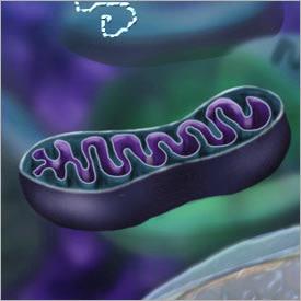 mitochondrion.jpg