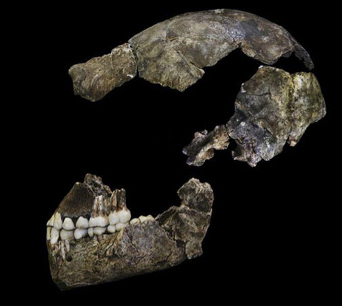 Homo_naledi_assembled_skull.jpg