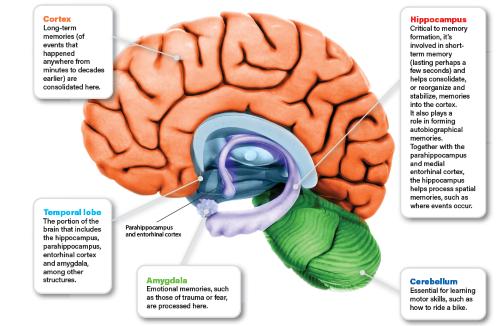 Brain Diagram - Science Source