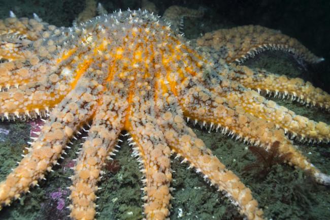 sunflower starfish in ocean water