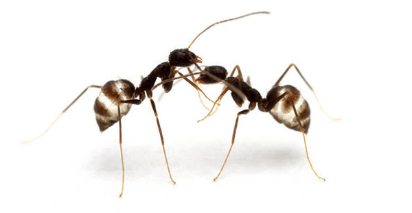Black_crazy_ant.jpg